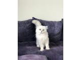 Setlere kedi